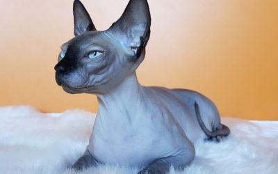 Sfinks mačka – neodoljivi vanzemaljac